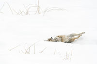 genussvoll... Kojote *Canis latrans*