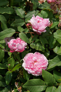 Rosa Jaques Cartier, Damascener Rose