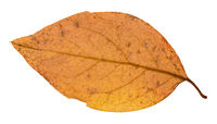 back side of yellow autumn leaf of poplar tree