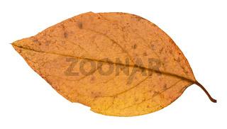 back side of yellow autumn leaf of poplar tree