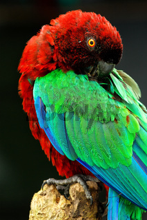 Red-Breasted Musk-Parrot grooming