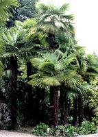 Hanfpalme, Trachycarpus, fortunei