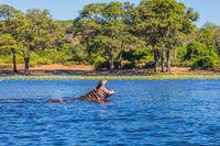 The Hippopotamus in the river