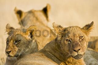 Loewen (Panthera leo) Savuti, Chobe National Park, Botswana, Afrika, Lions, Africa