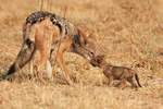 pups  mom Black-backed Jackal