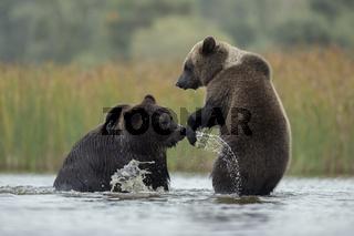 spielerische Auseinandersetzung... Europäische Braunbären *Ursus arctos*