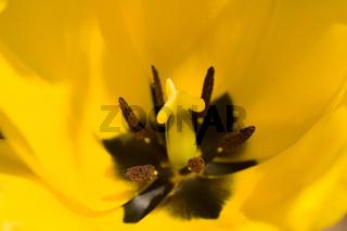 gelbe Tulpe - Tulipa
