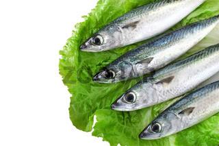 Makrelen auf Salat - scomber scombrus