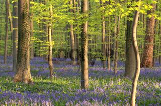 flowering bluebells in sunny forest