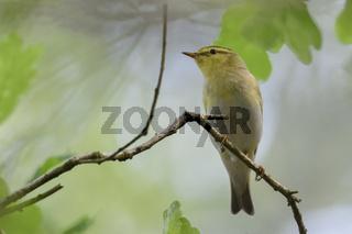 hoch oben im Blätterdach... Waldlaubsänger *Phylloscopus sibilatrix*, Männchen im Brutkleid