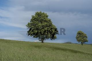 Kastanienbaum auf der Tullauer Hoehe, Baden-Wuerttemberg, Deutschland