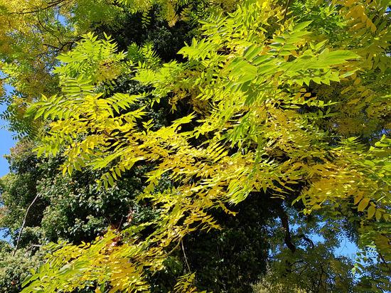 Blätter der Esche im Hebst