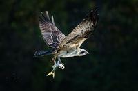 Osprey in Flight With Catch XXX