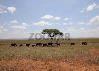 Elefantenherde in der Savanne,  Tarangire Nationalpark