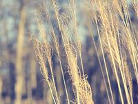 Pampas grass, Cortaderia selloana close up