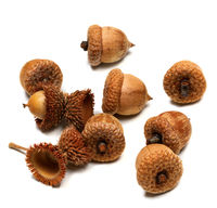 Autumn dried oak acorns on white background