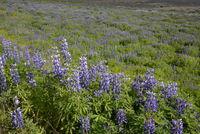 Lupinen auf Island
