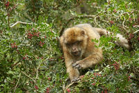 Close up of the Barbary Macaque monkey of Gibraltar.