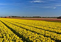 Feld mit gelben Tulpen der Sorte Yellow Purissima, Noordwijkerhout, Niederlande