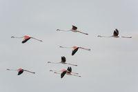 Rosaflamingo, Phoenicopterus roseus, Greater flamingo