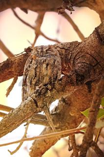 Afrika-Zwergohreule im Nachmittagslicht, Kruger NP, Südafrika, african scops owl, Kruger NP, South Africa