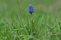 Tender blue muscari flower (Muscari armeniacum) in a wild nature