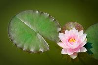 rosa Seerose