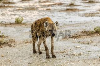 Tüpfelhyäne, spottet hyena, Crocuta crocuta