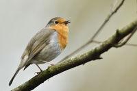 melodischer Gesang... Rotkehlchen * Erithacus rubecula * singt in der Balz