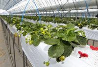 Hors-Sol-Anbau von Erdbeeren im Gewächshaus