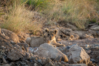 Two Lion cubs laying in a dry riverbed.