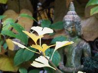 Ginkgo biloba im Herbst mit Buddha