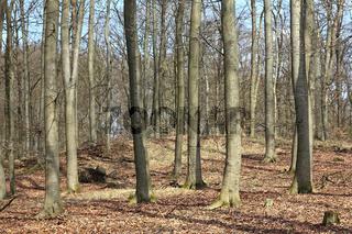 Ein Buchenwald im Vorfrühling