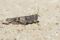 Blaufluegelige Oedlandschrecke, Oedipoda caerulescens, blue winged grasshopper