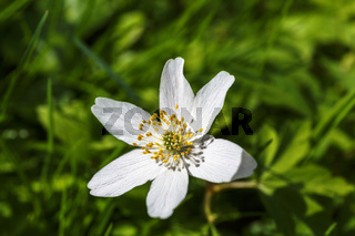 Wood anemone an spring flower on a meadow
