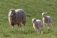 Lämmer laufen mit einem Schaf