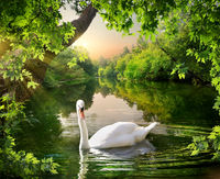White swan on the lake