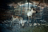Reindeers in cattle-shed.
