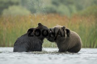 Kräftemessen... Europäischer Braunbär *Ursus arctos*