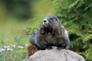 Eisgraues Murmeltier Hoary Marmot  Mount Rainier National Park Washington