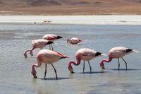 Flamingos on Laguna Hedionda