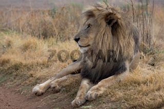amazing lion Kruger national Park