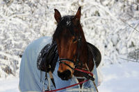chestnut horse in a winter forest. in a horsecloth, with a bridle and a saddle