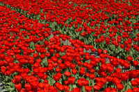 Feld mit roten Tulpen in der Blumenzwiebelregion Bollenstreek, Noordwijkerhout, Niederlande