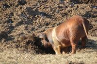 Sattelschweine