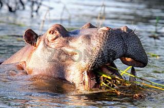 Flusspferd im Sambesi, Sambia
