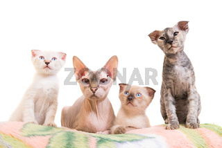 Purebred sphinx cat lying with kittens