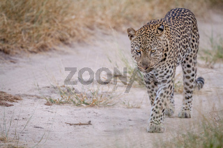 Leopard walking on a sand road.