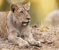 Junger Löwe, Südafrika, young lion, South Africa