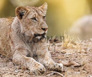 Junger Löwe, Südafrika, young lion, South Africa